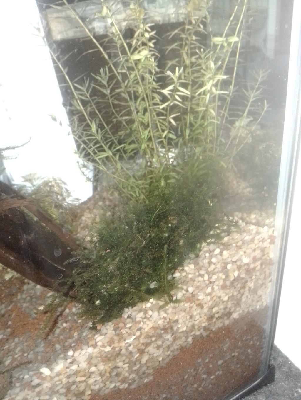 nano aquarium killi cap lopez Img_2219