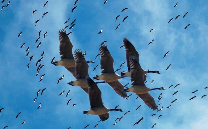 مسار وأسباب هجرة الطيور 910