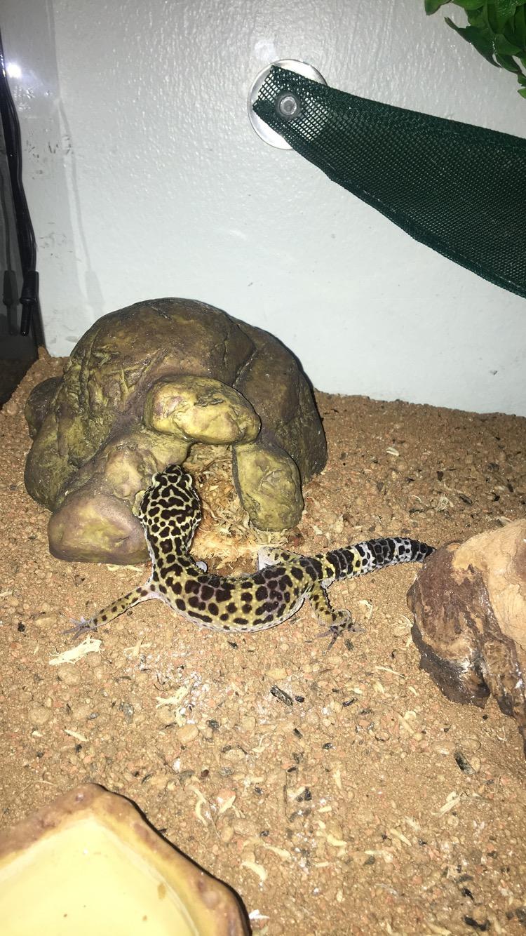 Gecko léopard ne mange plus depuis 1 mois 2fb93b10