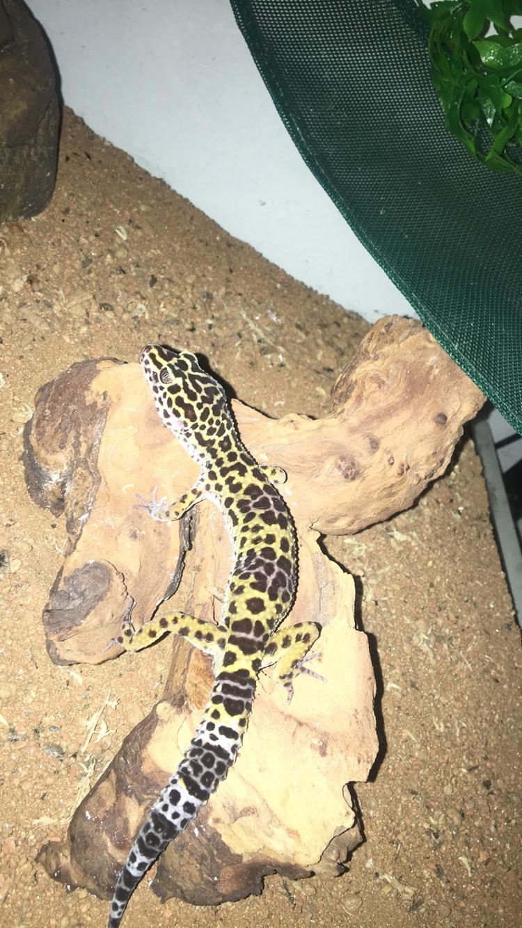 Gecko léopard ne mange plus depuis 1 mois Ef908a10