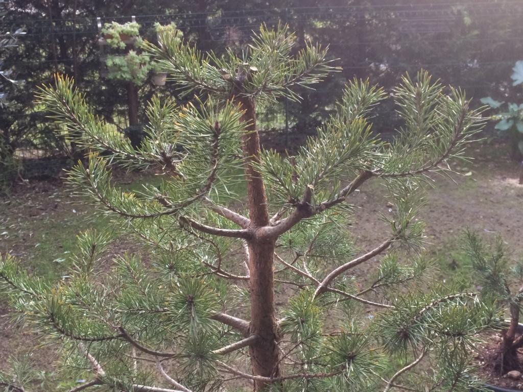 Pino colto in giardino  21b69e10