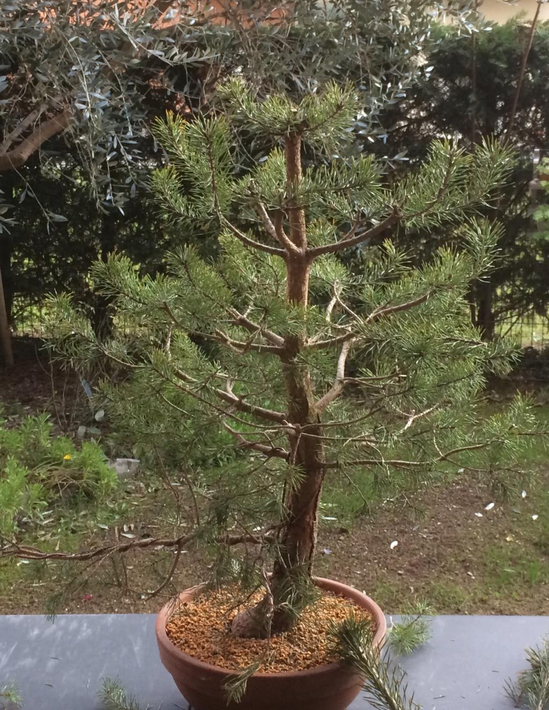 Pino colto in giardino  31481910