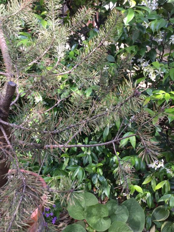 Pino colto in giardino  42f4bf10