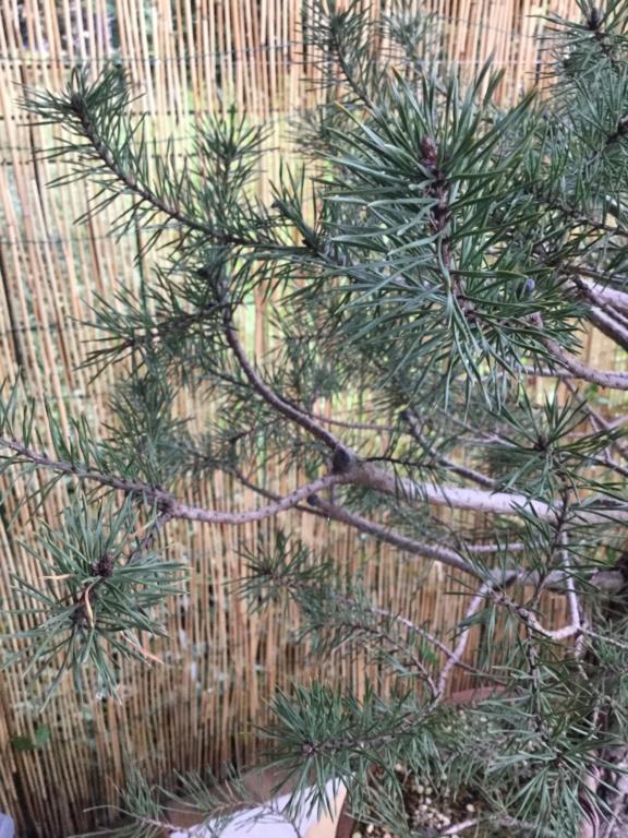 Pino colto in giardino  9500b110