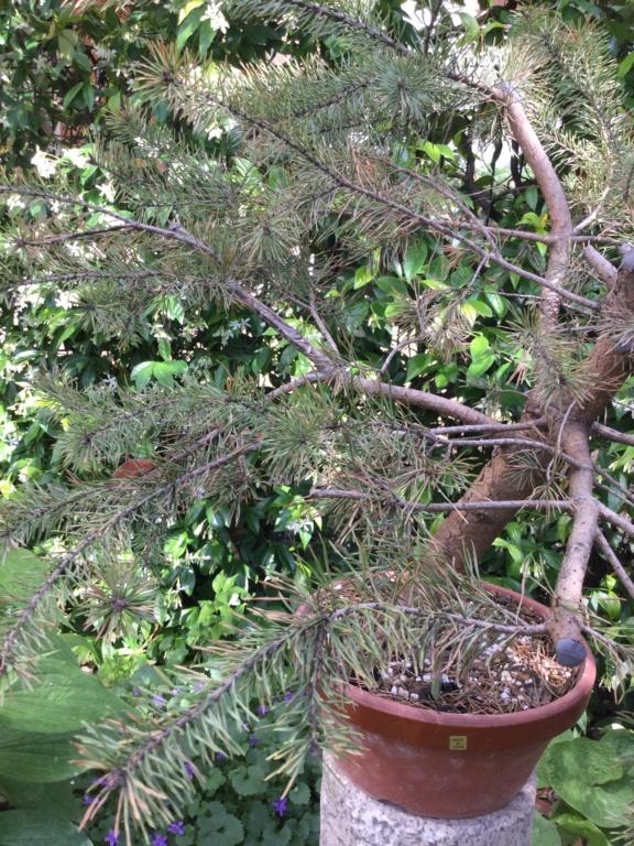 Pino colto in giardino  9d9db810