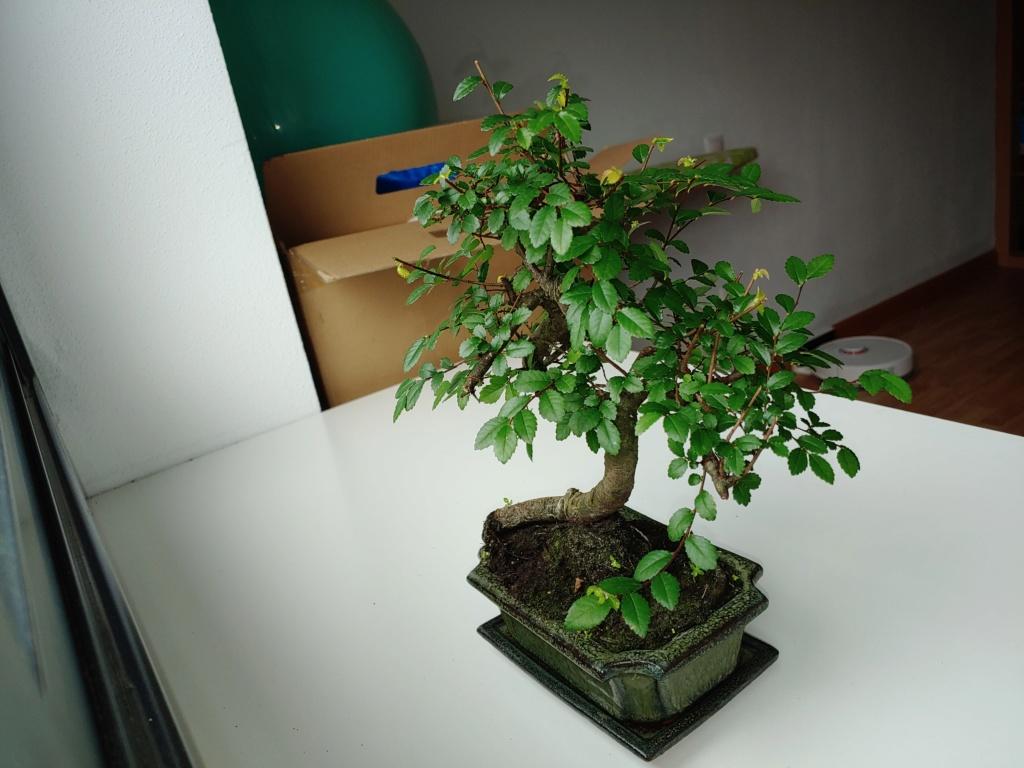 Presentación zelkova, mi primer bonsai 20200113
