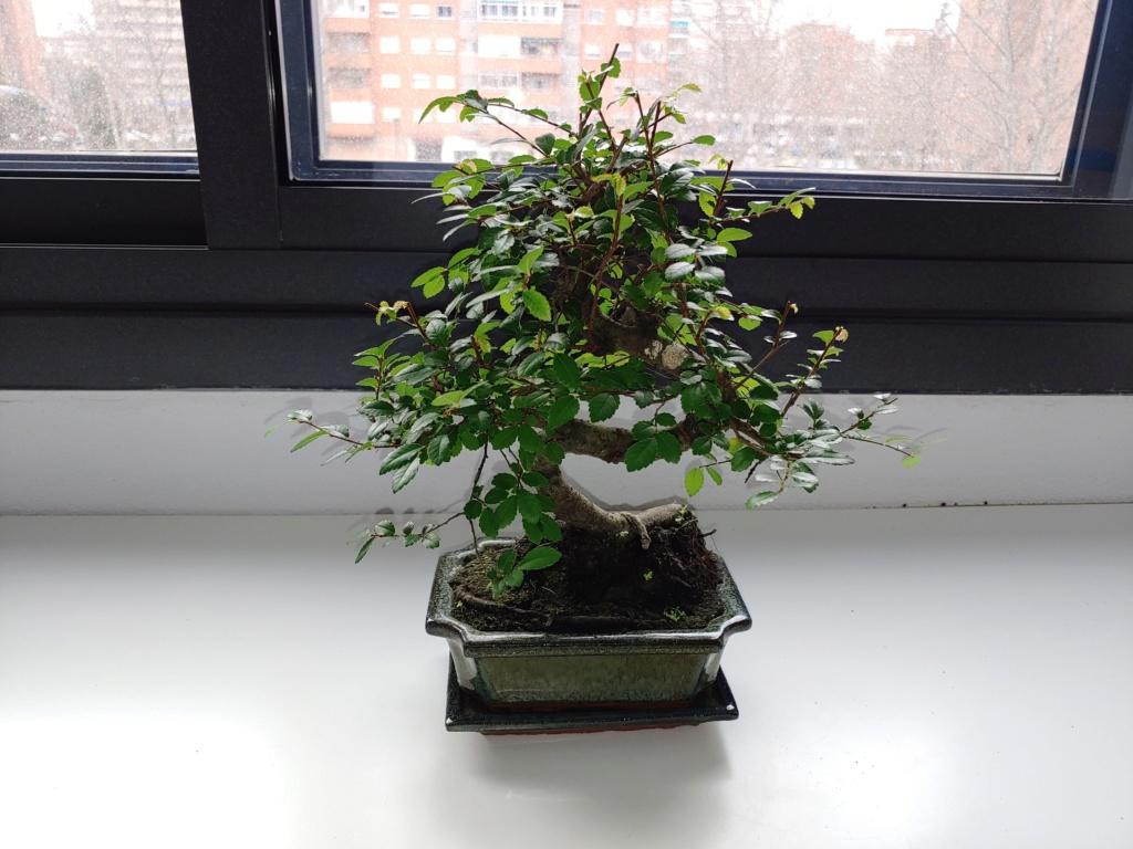 Presentación zelkova, mi primer bonsai 20200114