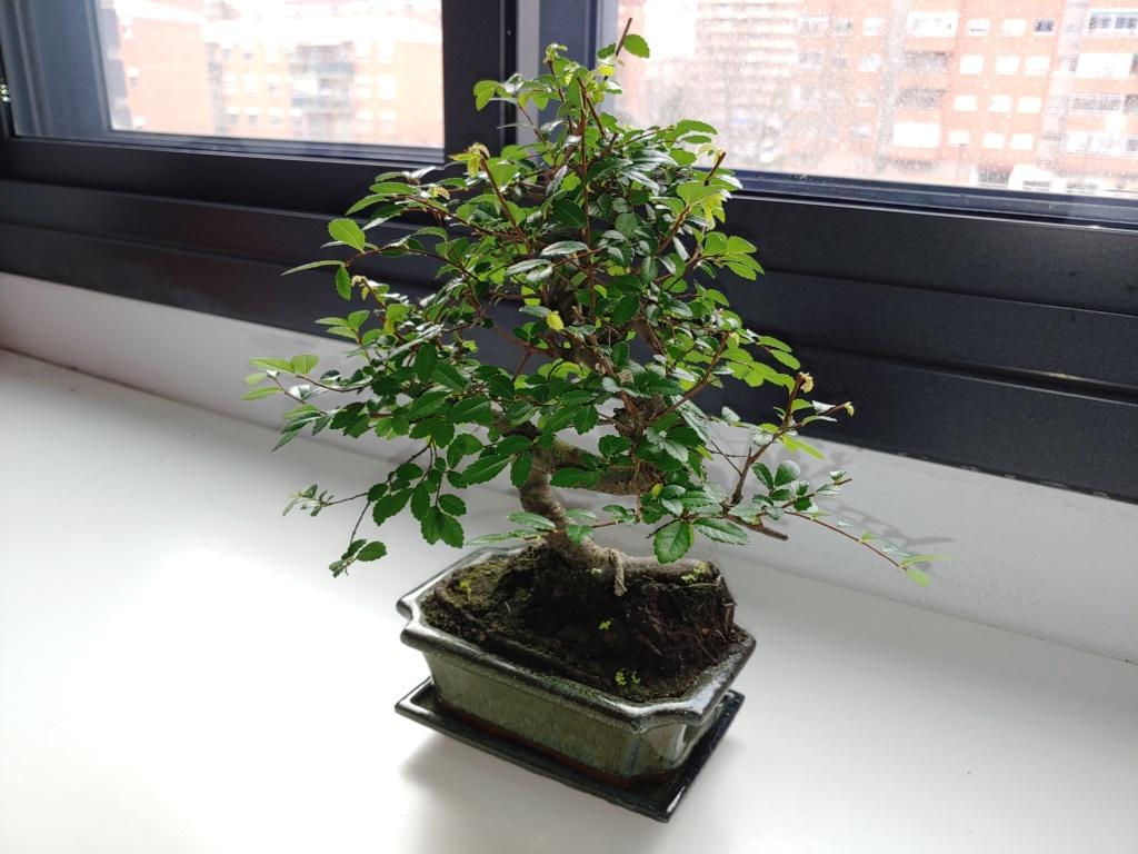 Presentación zelkova, mi primer bonsai 20200115