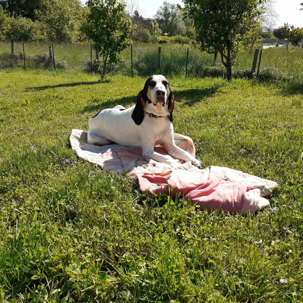 NORVEGE (chienne croisée courant/gascon) Img-2016
