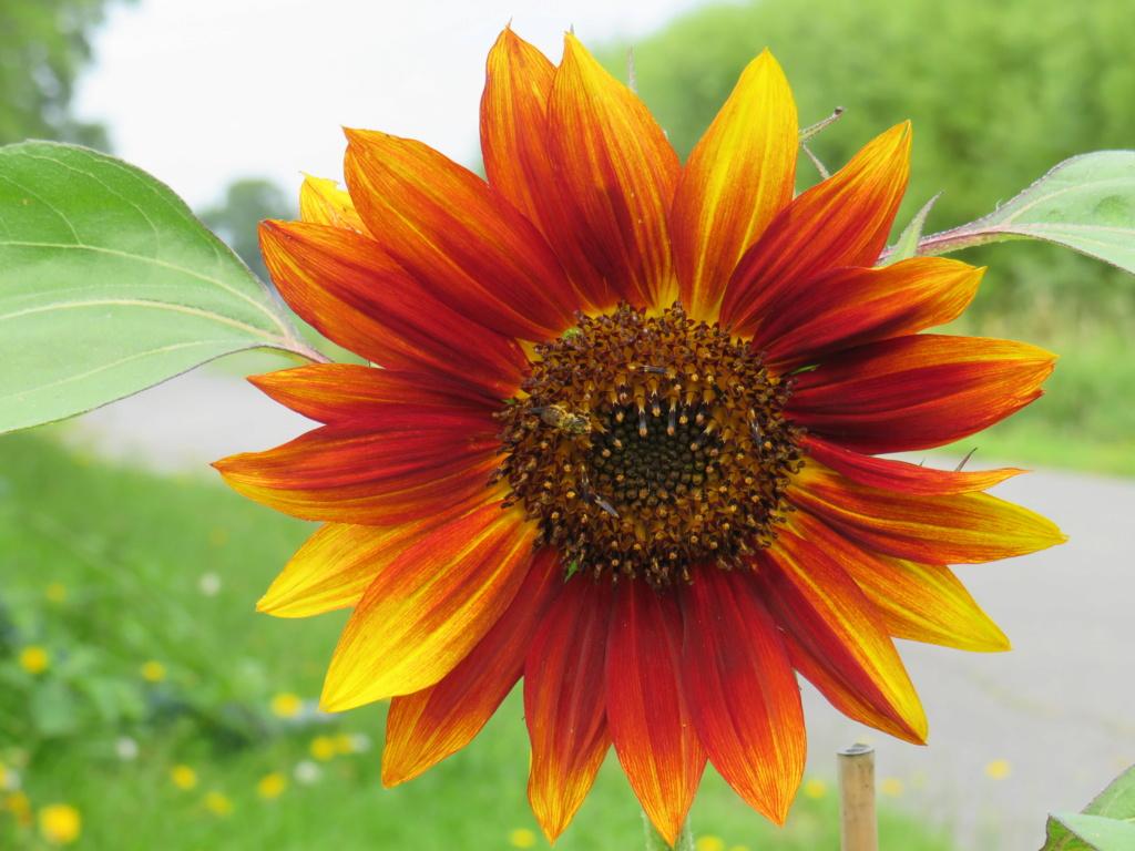 Fleur de tournesol Img_2715