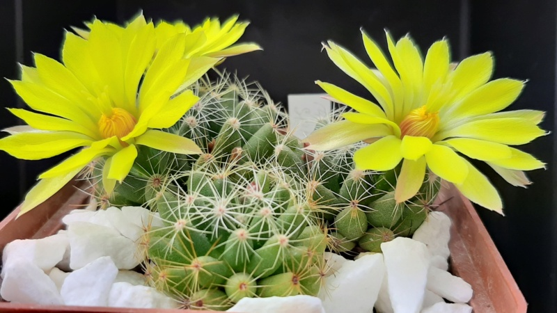 Cactus under carbonate. 20. (2020) . New Year's greetings. 20200618