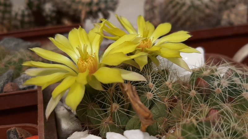 Cactus under carbonate. 20. (2020) . New Year's greetings. 20200714