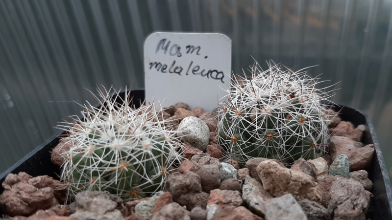 Cactus under carbonate. 20. (2020) . New Year's greetings. 20201113