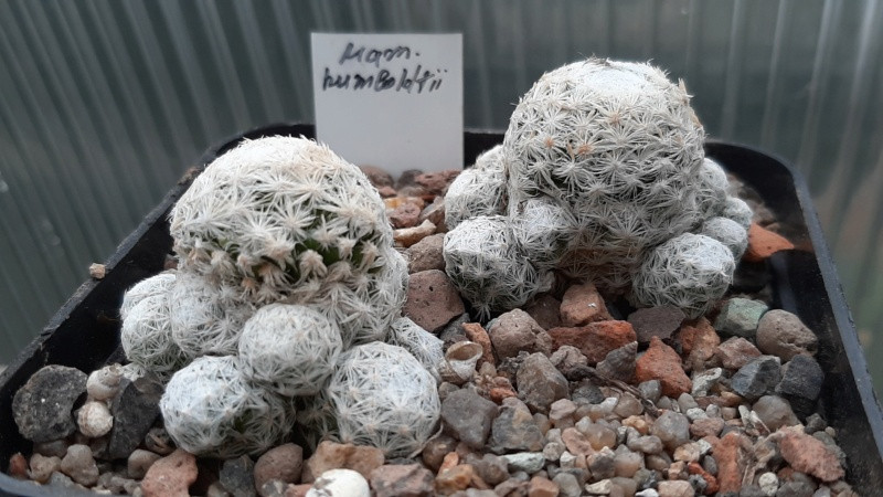 Cactus under carbonate. 20. (2020) . New Year's greetings. 20201114