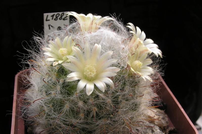 Cactus under carbonate. 20. (2020) . New Year's greetings. M_boca10