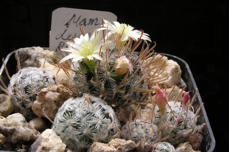 Cactus under carbonate. 20. (2020) . New Year's greetings. M_duwe12