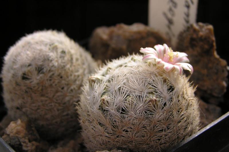 Cactus under carbonate. 20. (2020) . New Year's greetings. M_egre10