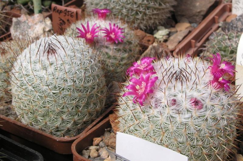 Cactus under carbonate. 20. (2020) . New Year's greetings. M_eleg10