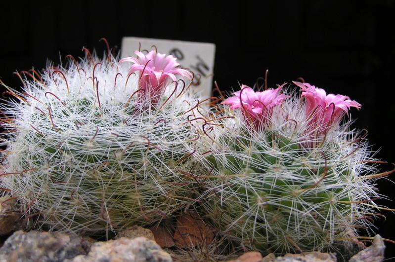 Cactus under carbonate. 20. (2020) . New Year's greetings. M_eryt12