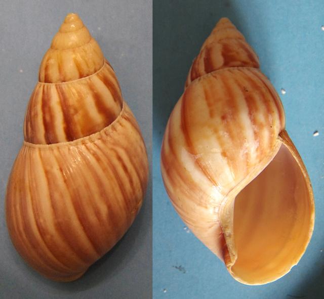 Achatina sp? A identifier Achati10