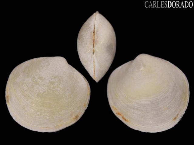 Euanodontia ovum (Reeve, 1850) Anondo10