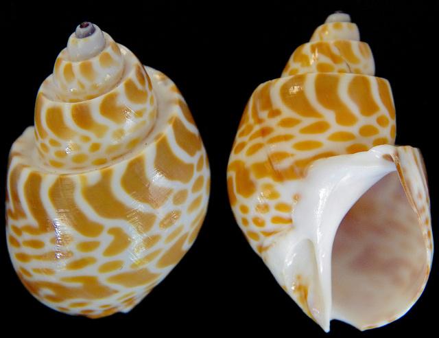 Babylonia spirata - (Linnaeus, 1758) Babylo10