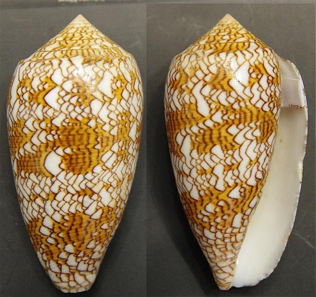 Conus_textile Conus_10