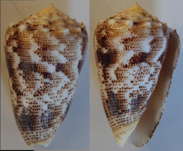 Conus (Puncticulis) bizona - (Coomans, Moolenbeek & Wils, 1981) Conus_12