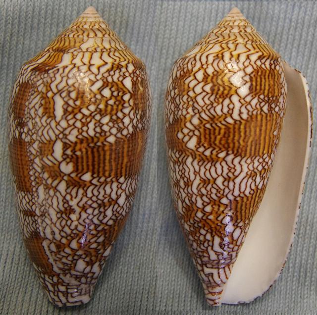 Conus (Cylinder) textile - (Linnaeus, 1758) Conus_15