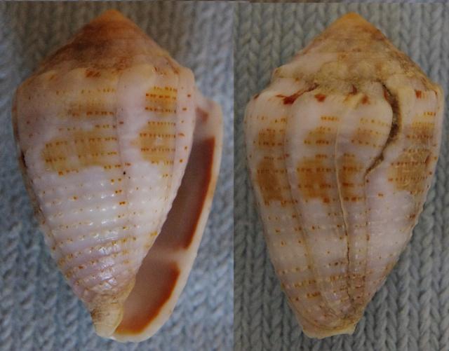 Conus_coronatus (Gmelin, 1791) Conus_18