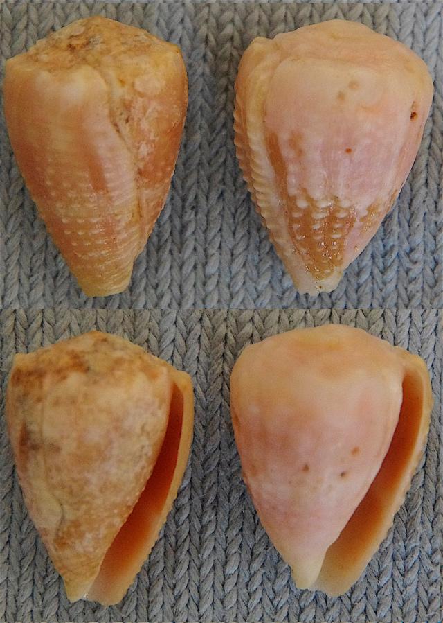 Conus (Virroconus) miliaris (Hwass in Bruguière, 1792) Conus_19