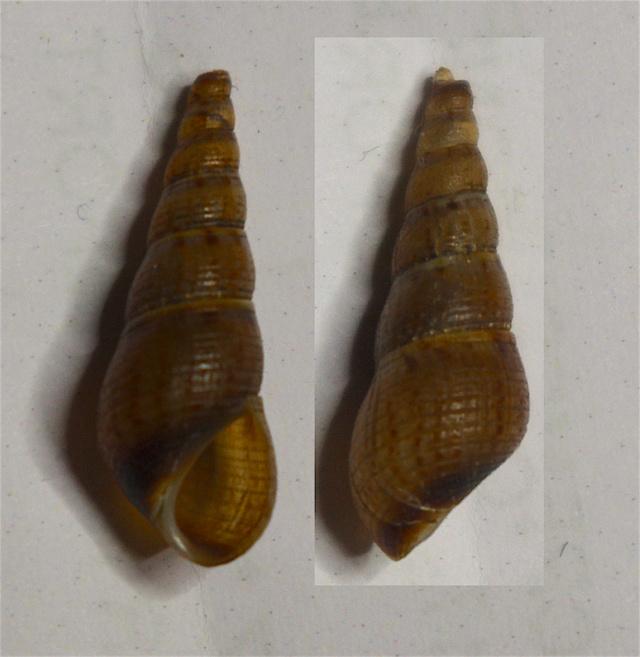 Brotia sp. Coquil13