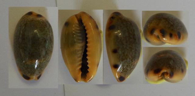 Melicerona felina (Gmelin 1791) Cyprae11