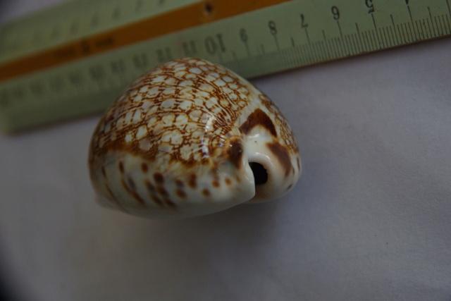 Mauritia_histrio_(Gmelin_1791) Dkd50960