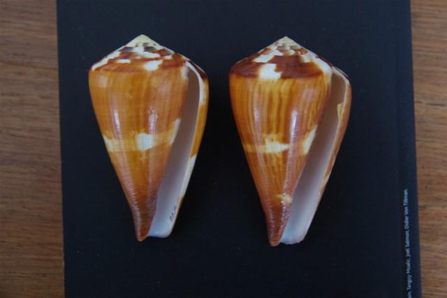 Conus_vexillum (Gmelin, 1791) Dkd51114