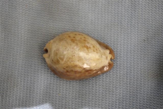 Trona_stercoraria_(Linnaeus_1758) Dkd51317