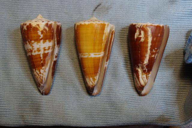 Strategoconus_maldivus (Hwass_in_Bruguière, 1792) Dkd51328