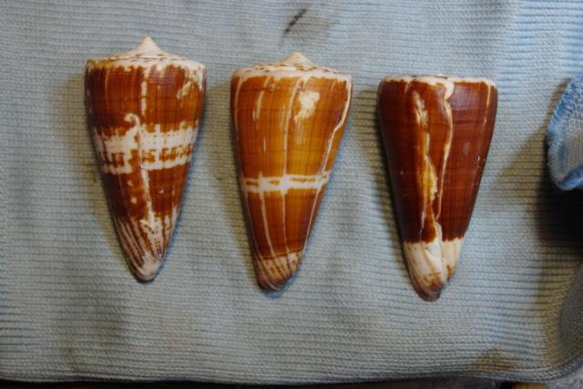 Strategoconus_maldivus (Hwass_in_Bruguière, 1792) Dkd51329