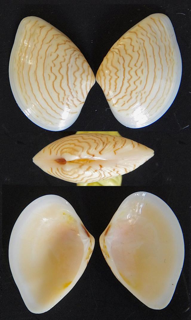 Callista floridella (Gray, 1838) Donax_10