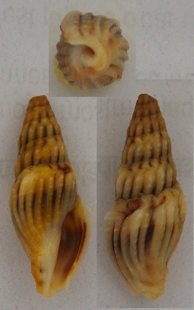 Crassispira bernardi (F. Fernandes, Rolán & Otero-Schmitt, 1995) Drilli10
