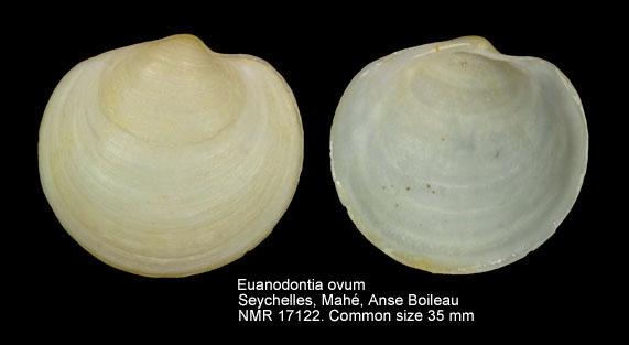 Euanodontia ovum (Reeve, 1850) Euanon10