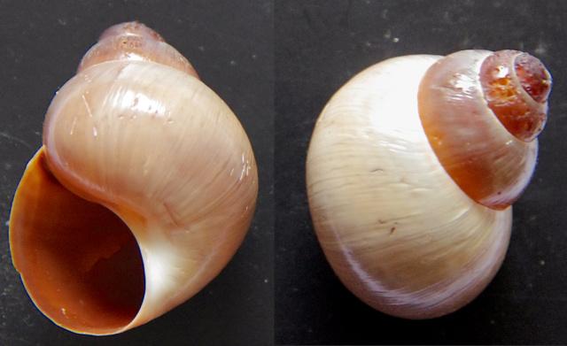 Gastéropode terrestre (?) à spire senestre  Gastea10