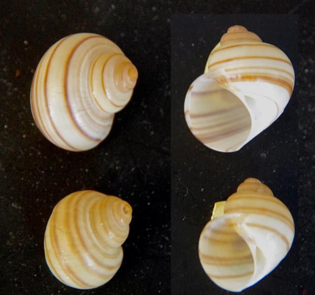 Lanistes lybicus (Morelet 1848) Gastea12