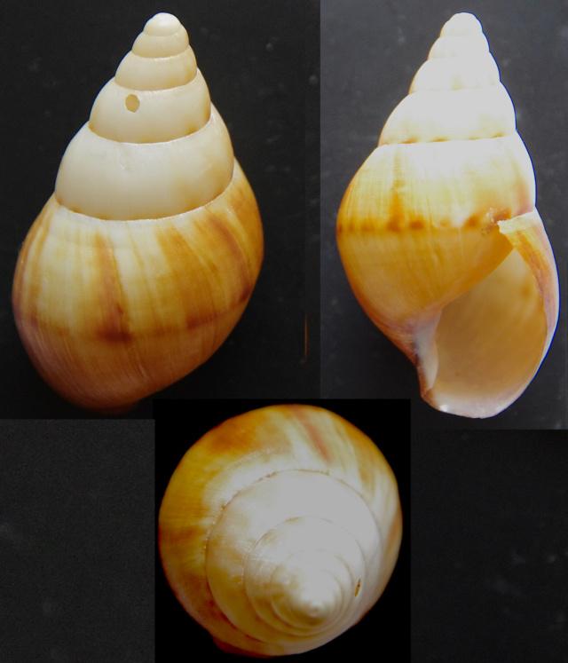 Gastéropode terrestre à identifier Gastro10