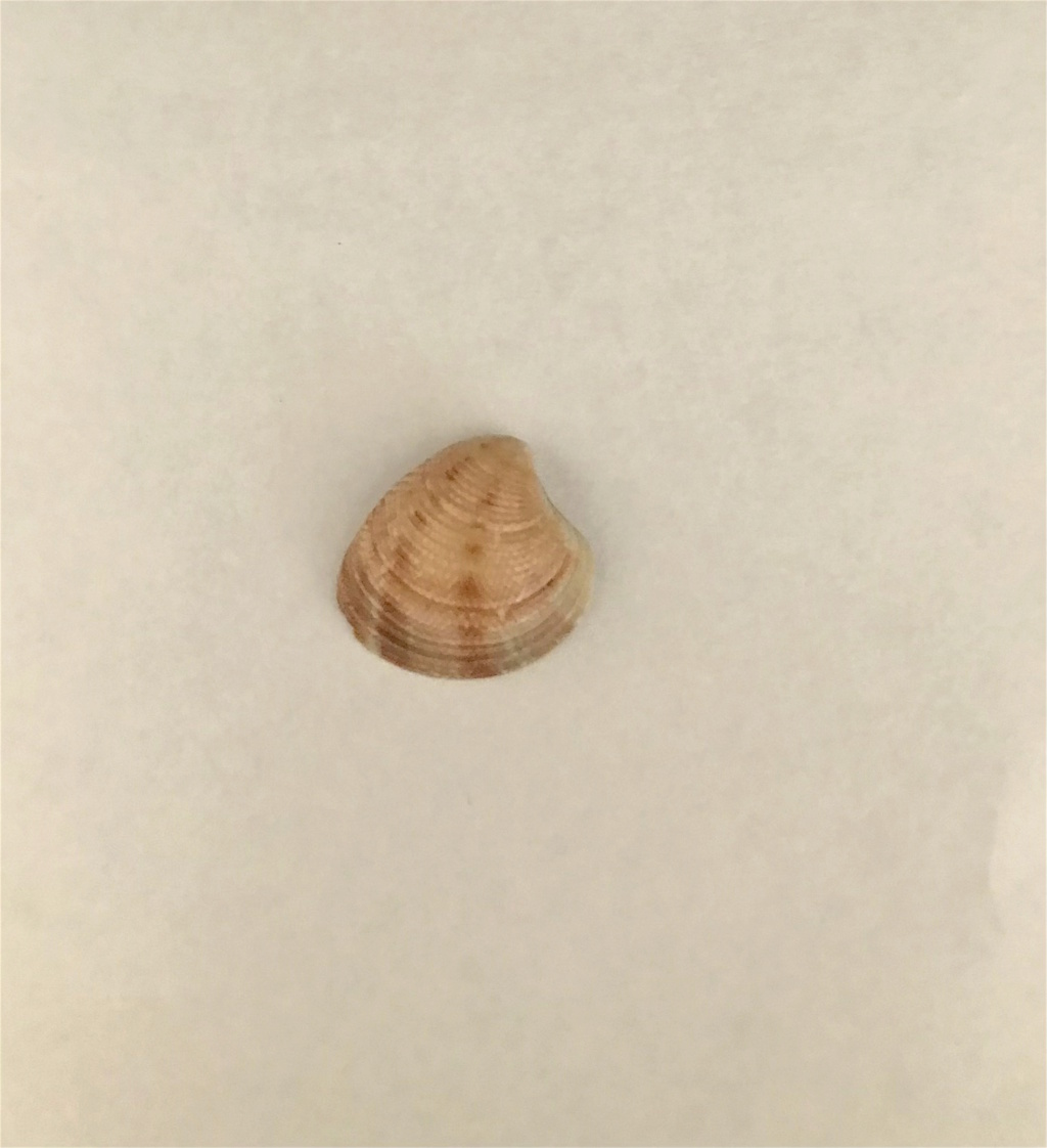 Chamelea striatula (Da Costa, 1778) Img-0412
