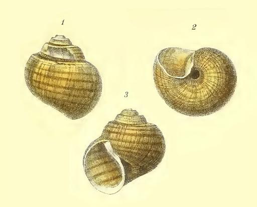 Lanistes lybicus (Morelet 1848) Lanist10