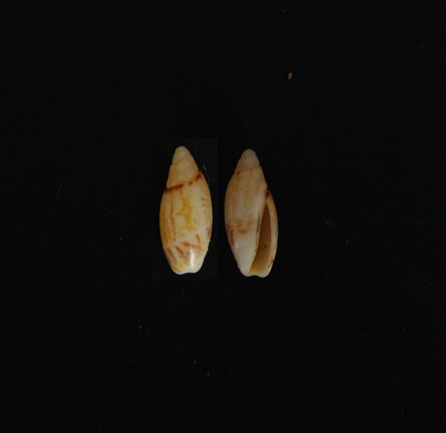 Olivella pulchella (Duclos, 1835) Olivel10