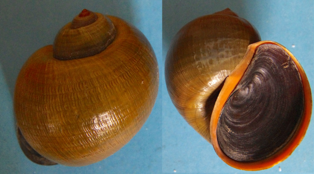 Pomacea insularum (d'Orbigny 1835) Pomace11