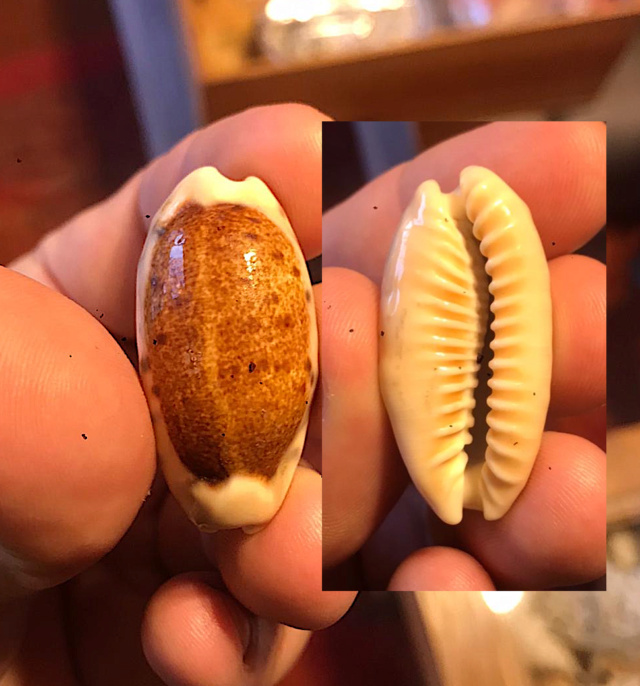 Erronea_caurica_caurica_(Linnaeus_1758) Porcel10