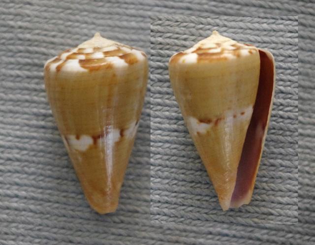 Rhizoconus_namocanus (Hwass_in_Bruguière, 1792) Vexill10